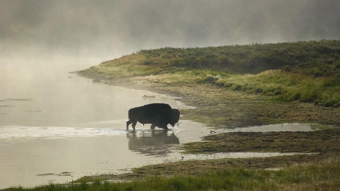 VIDEO: Un bisonte imperturbable se relaja junto a un géiser en erupción en Yellowstone