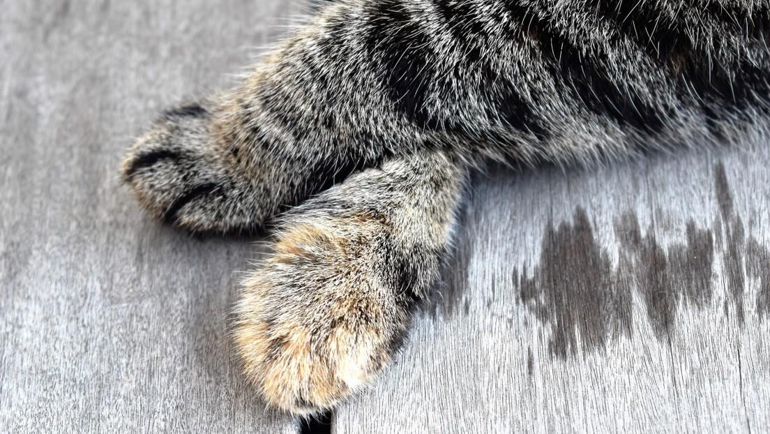VIDEO: Un astuto mapache roba comida a dos gatitos colando sus patas a través de un suelo de madera