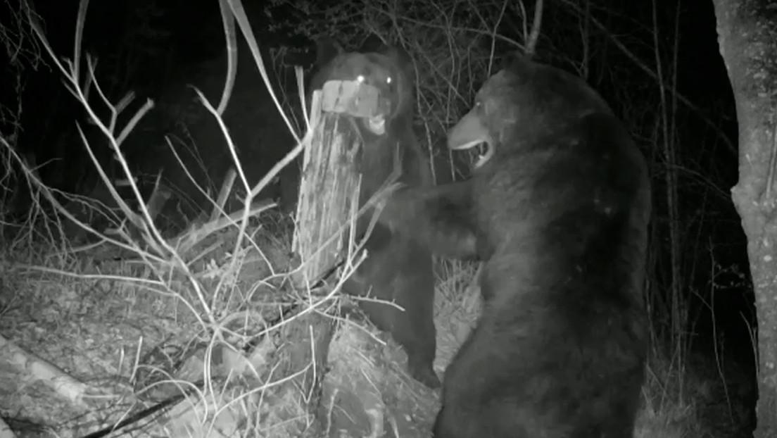 VIDEO: Dos osos protagonizan un feroz combate en la frontera ruso-china y destruyen cámaras y parte de la valla fronteriza