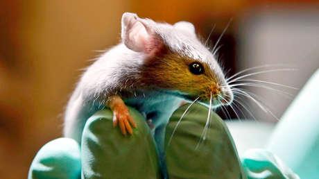 Imprimen en 3D una oreja 'humana' bajo la piel de un ratón sin realizar ningún corte