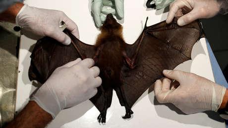 Capturan murciélagos de herradura en Tailandia para comprobar si son portadores del coronavirus