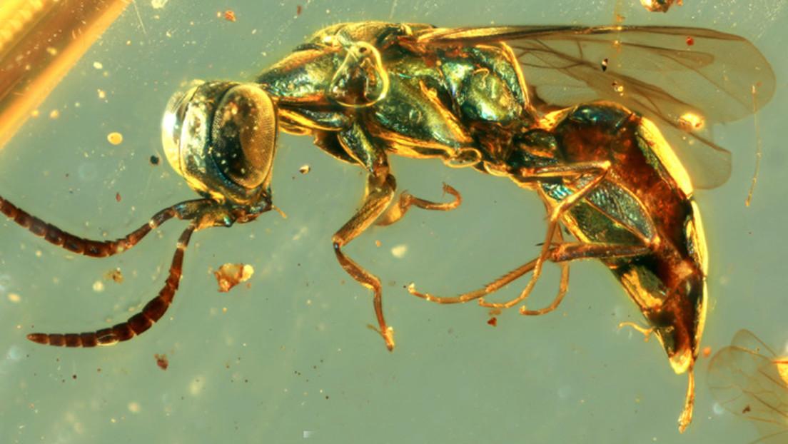 FOTOS: Identifican los colores reales de insectos que habitaron la tierra hace 99 millones de años