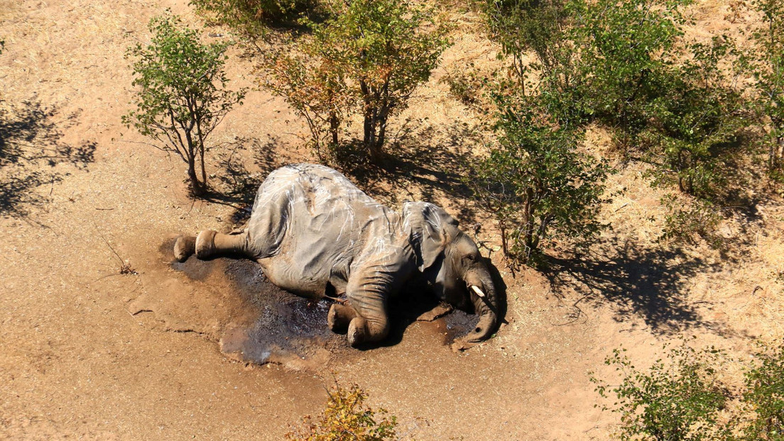 Más de 350 elefantes mueren en Botswana y nadie sabe por qué (FOTOS)