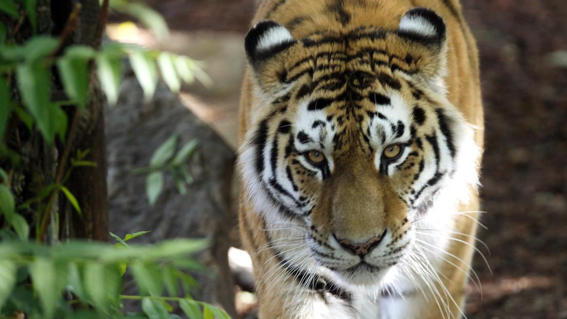 Fallece una empleada de un zoológico de Suiza tras ser atacada por un tigre