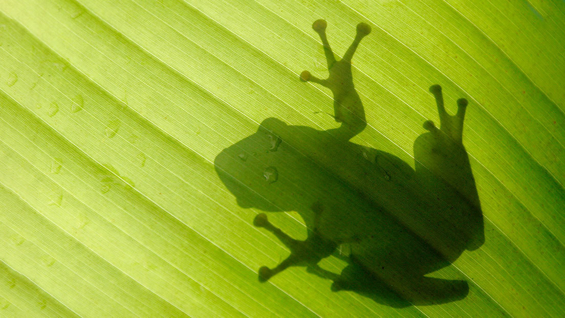 Reino Unido: Hallan entre bananas una rana colombiana que sobrevivió a un viaje de 8.000 kilómetros