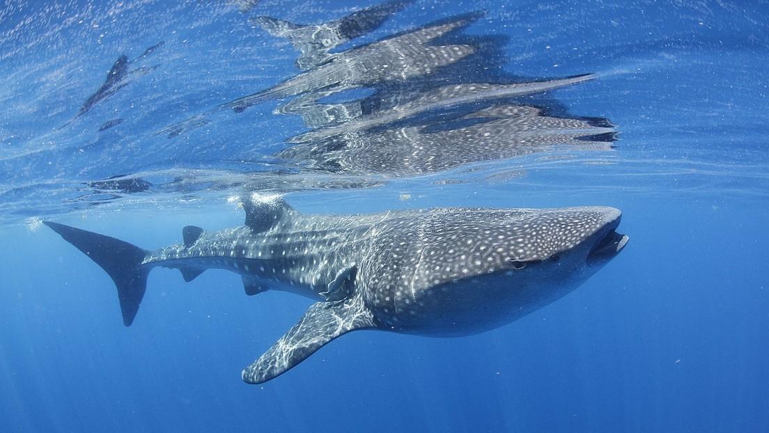 VIDEO: Un tiburón ballena espanta a los bañistas de una playa de Israel