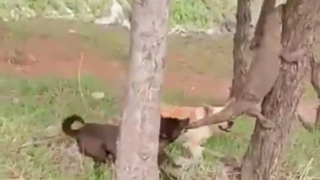 VIDEO: Dos perros atacan a un varano mordiéndole la cola mientras intenta escapar