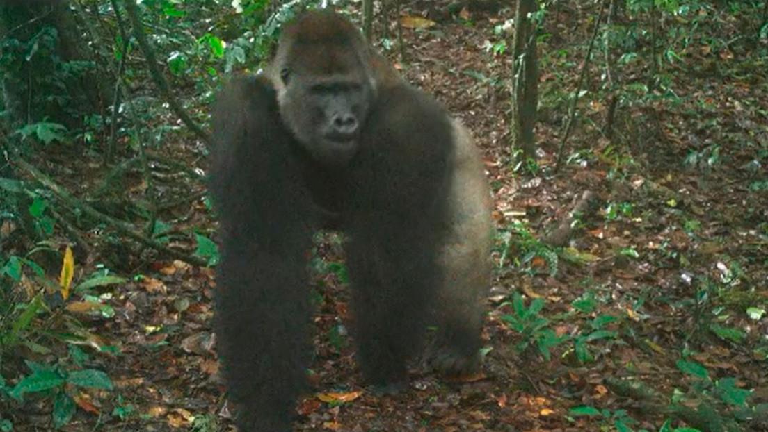Logran fotografiar en su hábitat a cachorros de una especie de gorila en peligro crítico