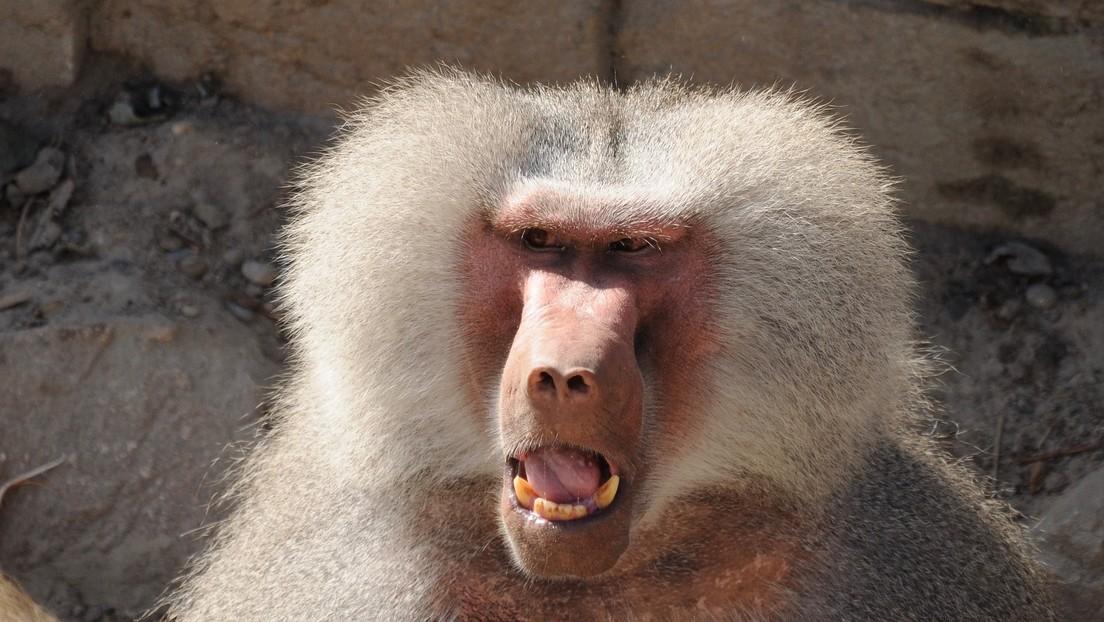 VIDEO: Un hombre cae desde un 4.° piso al escapar de un babuino salvaje en Kenia