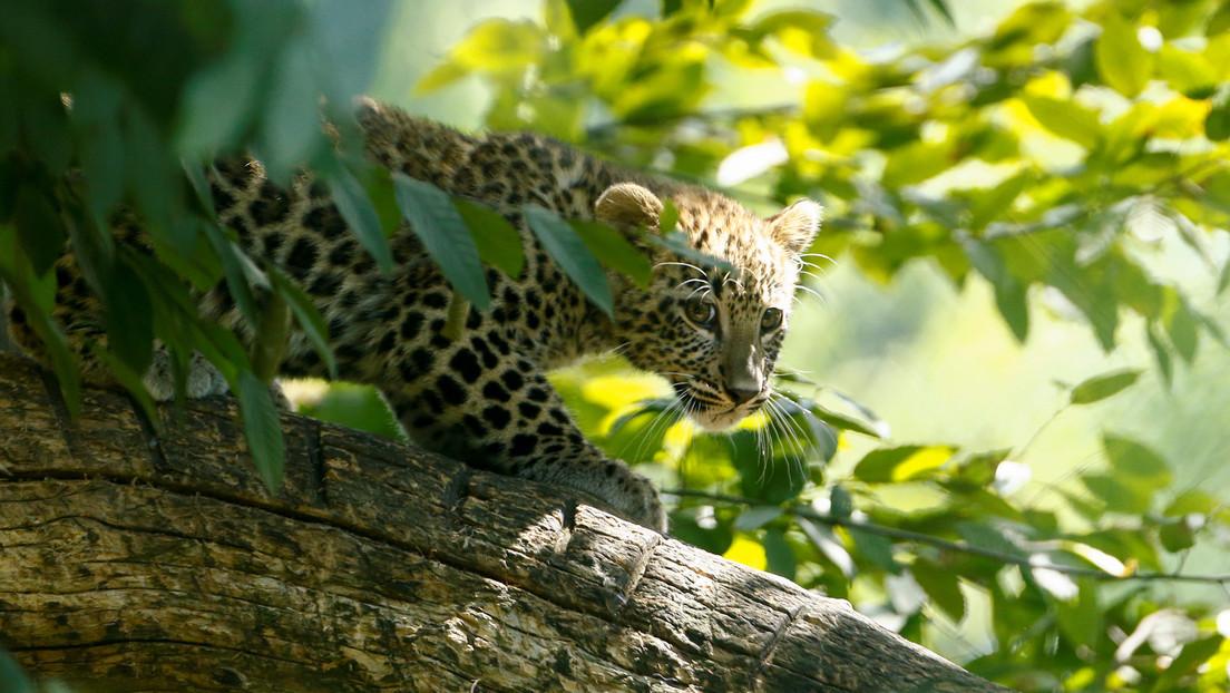 VIDEO: Cámara de visión nocturna capta el susto que le da una cría de leopardo a su hermano