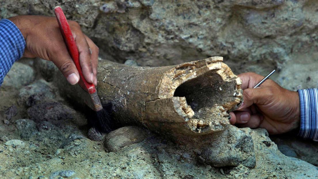 FOTOS: Descubren en Siberia imágenes de camellos grabadas en un colmillo de mamut hace 13.000 años