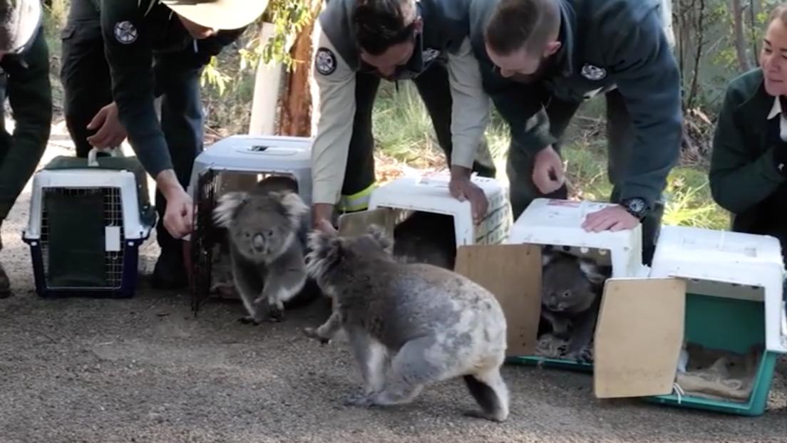 VIDEO: Llevan de vuelta al bosque a los koalas que fueron evacuados por los devastadores incendios en Australia