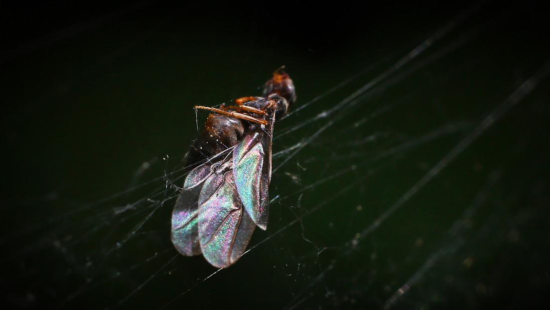 VIDEO: Enjambres de hormigas voladoras 'bombardean' el Reino Unido, algunos de ellos tan grandes que fueron detectados por radares meteorológicos