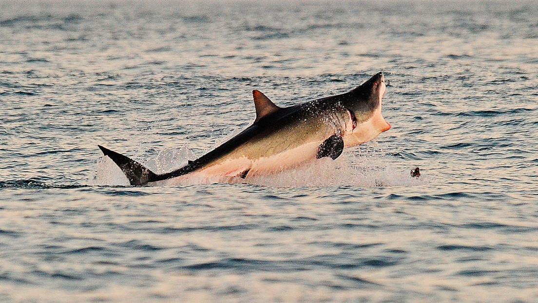 Graban por primera vez cómo un tiburón blanco ataca estratégicamente una ballena antes de llevarla hacia las profundidades