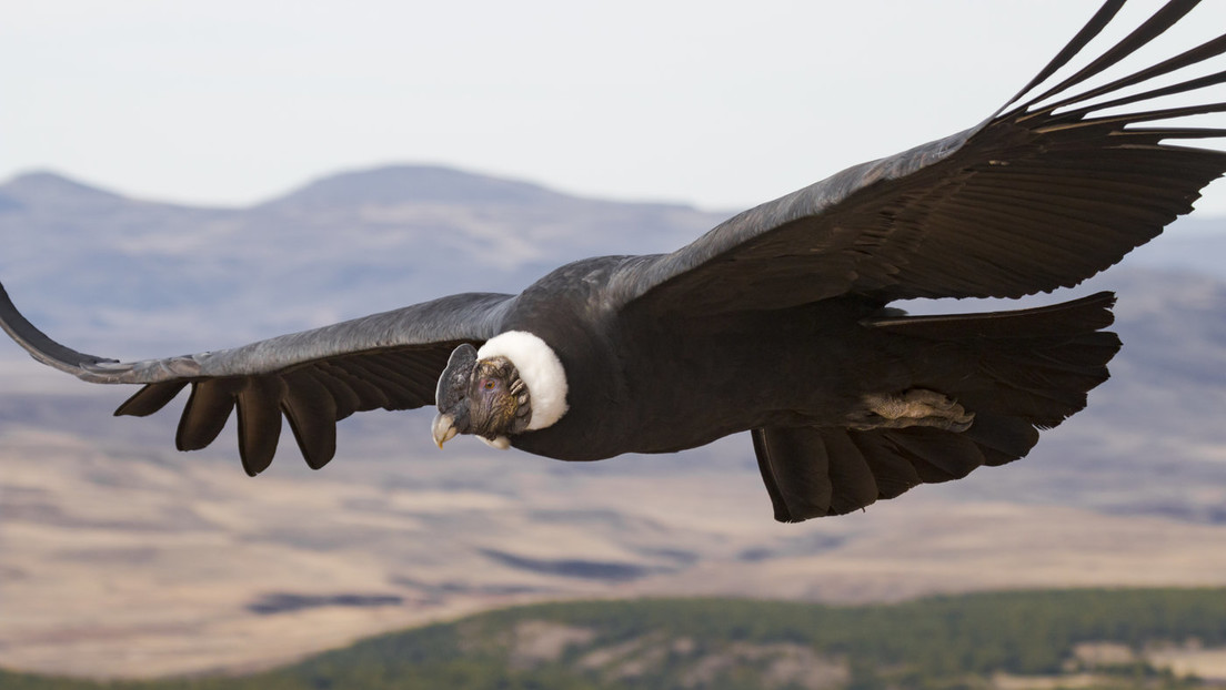 Descubren cómo el corpulento cóndor andino logra volar más de 170 kilómetros sin mover las alas