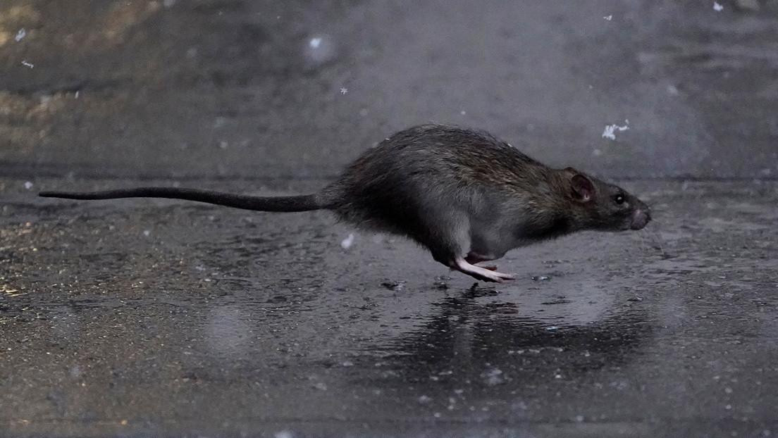 VIDEO: Dos ratas luchan cuerpo a cuerpo frente a un gato que no se molesta en intervenir