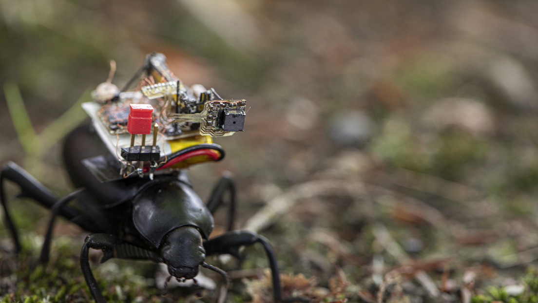 GoPro para insectos: diseñan una pequeña cámara que puede ser llevada por un escarabajo (FOTOS, VIDEOS)