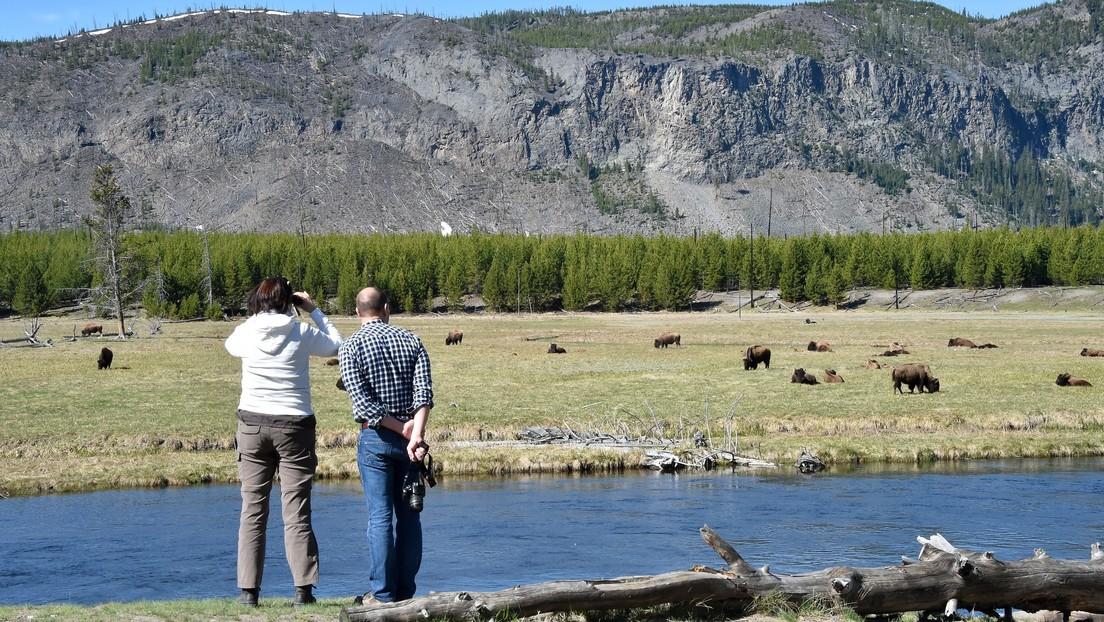 Una mujer finge su muerte para salvarse del ataque de unos bisontes en el Parque Nacional de Yellowstone (VIDEO)
