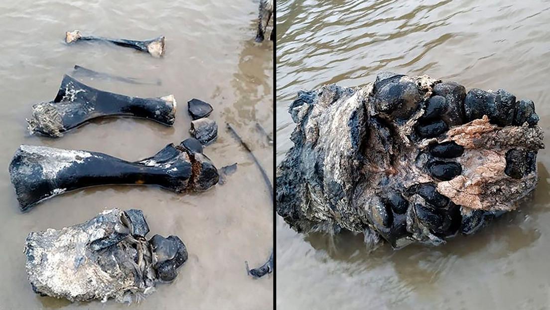 VIDEO, FOTOS: Hallan huesos y tejidos de mamut bien conservados en un lago del ártico ruso