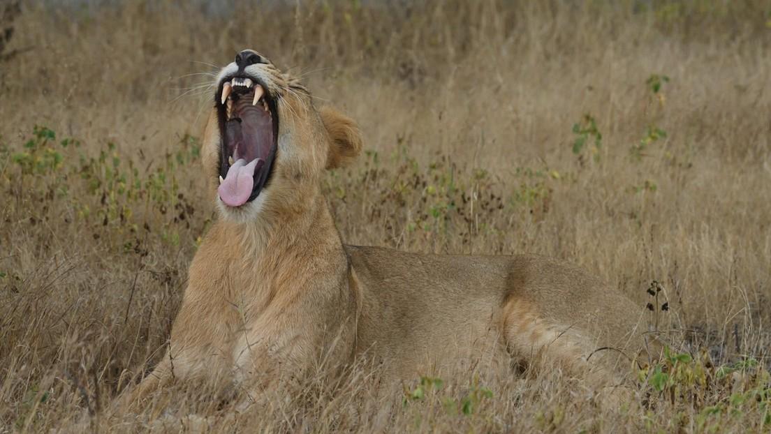Filman una feroz disputa entre una hembra y un macho de leones asiáticos (VIDEO)