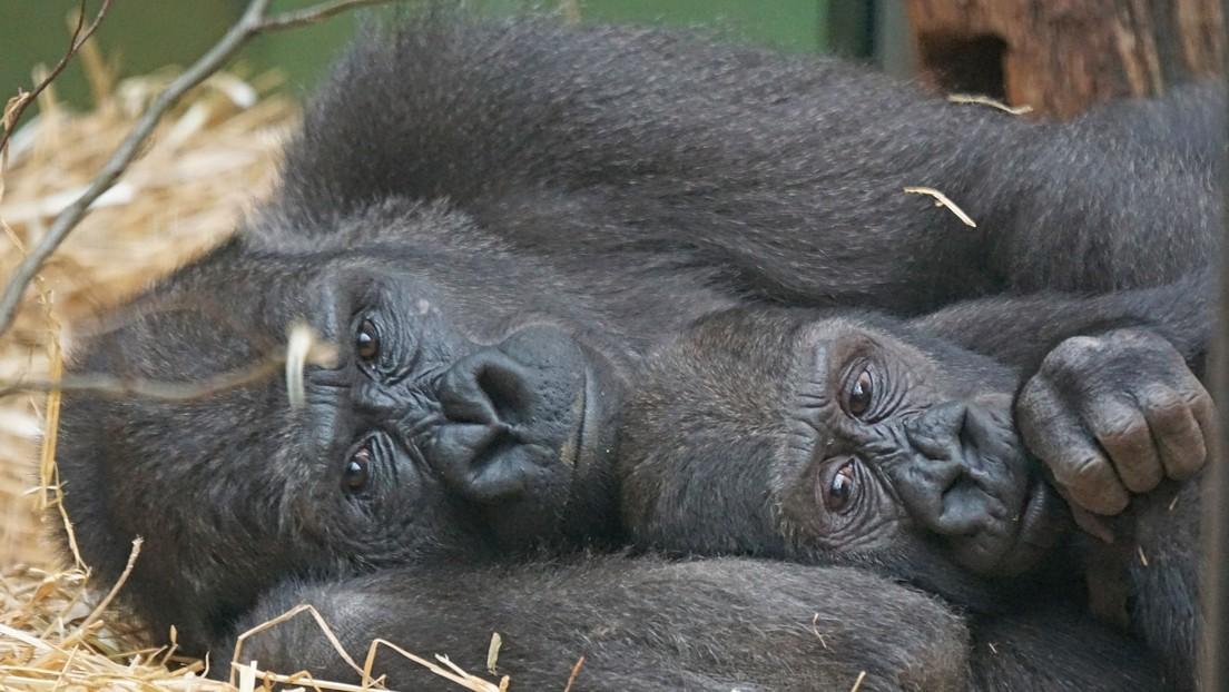 Los gorilas podrían limitar sus vínculos sociales para ahorrar energía mental