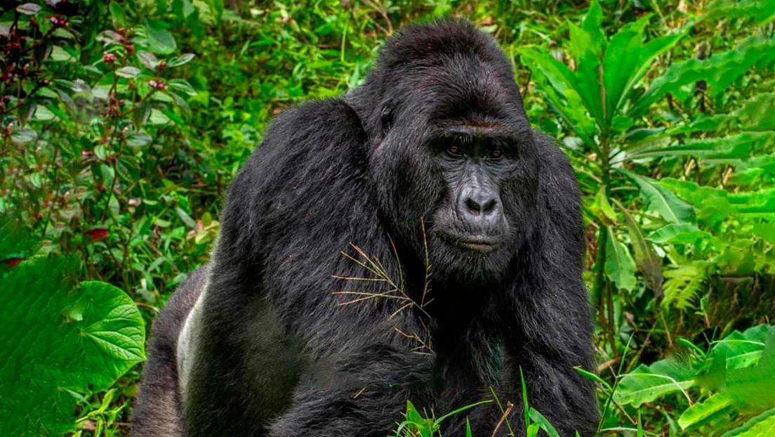 Condenan a 11 años de cárcel al cazador que mató a uno de los gorilas más famosos de África
