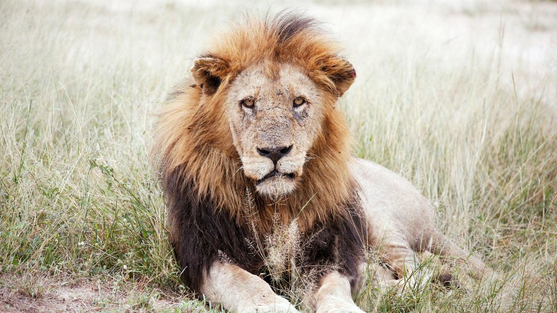 Un león atacó a una pareja mientras dormía en un safari y le arrancó parte de un brazo al hombre