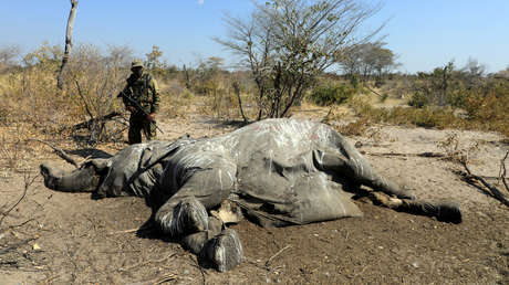 Revelan la posible causa de la misteriosa muerte de cientos de elefantes en Botswana