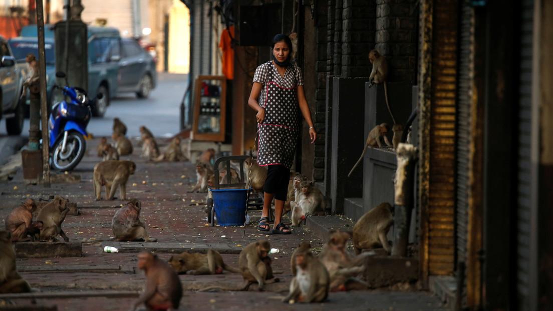 Miles de monos 'incontrolables' invaden una ciudad en Tailandia