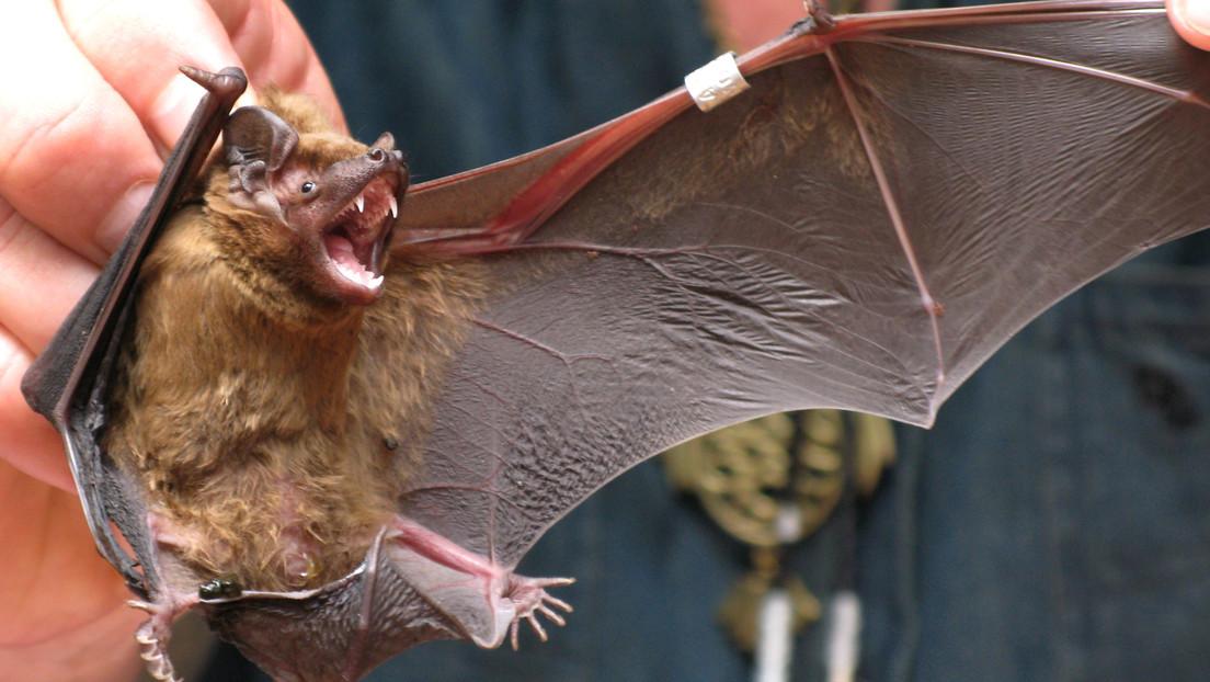 Ancestros del nuevo coronavirus durante décadas se escondían en murciélagos que podrían albergar más linajes capaces de propagarse a los humanos