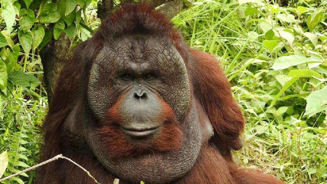 Orangután que perdió ambos brazos tratando de escapar de sus captores aprende a trepar árboles y encontrar comida usando sus patas (VIDEO)