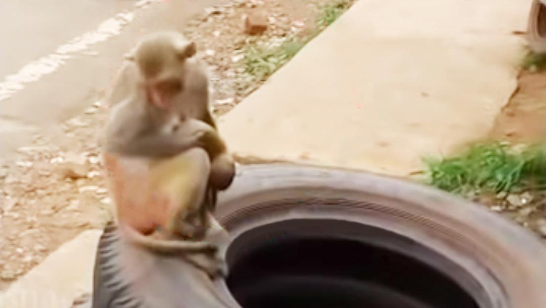 VIDEO: Un mono carga durante varios días el cadáver de su cría y causa conmoción en las redes