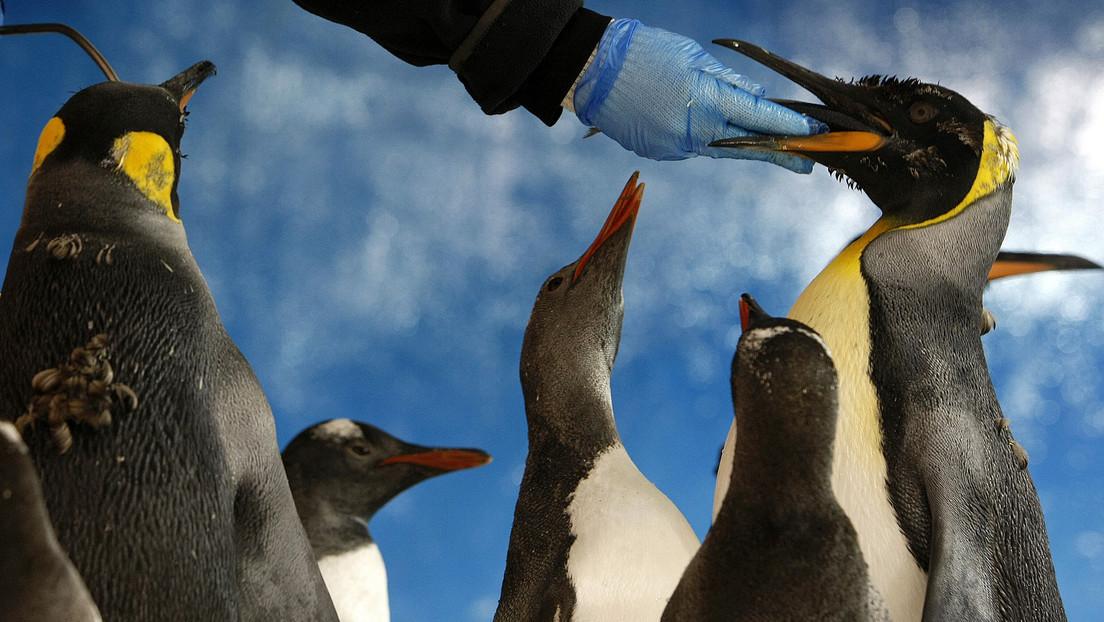 Descubren varias colonias de pingüinos emperador en la Antártida gracias a que satélites captaron sus excrementos