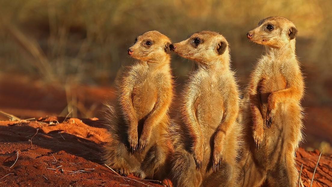 Graban cómo un grupo de suricatas hace una 'danza de guerra' antes de enfrentarse a una cobra
