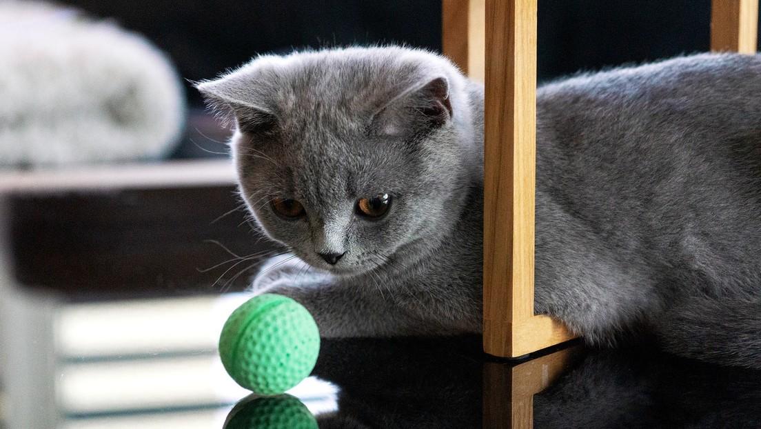 VIDEO: Un gato 'caza' todas las pelotas que le lanza su dueña y se hace viral en la Red