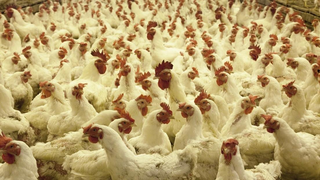 Australia: Gripe aviar contagiosa para humanos afecta a dos granjas de Victoria en plena segunda ola de covid-19
