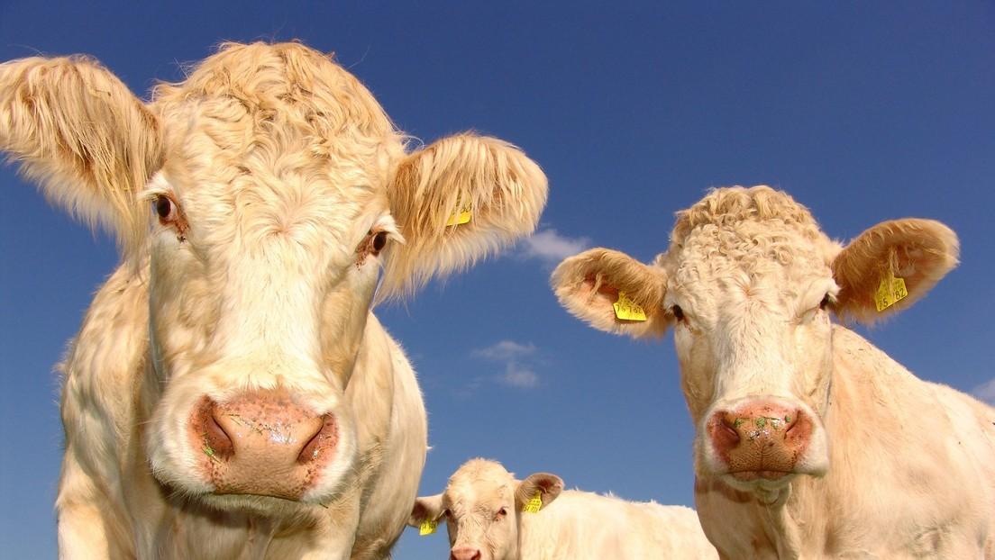 VIDEO: Vacas curiosas se cuelan en un informe meteorológico en vivo