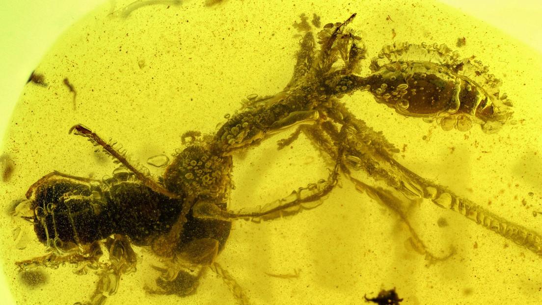 FOTO: Una 'hormiga del infierno' ataca a su víctima de una manera única en un fósil de hace 99 millones de años