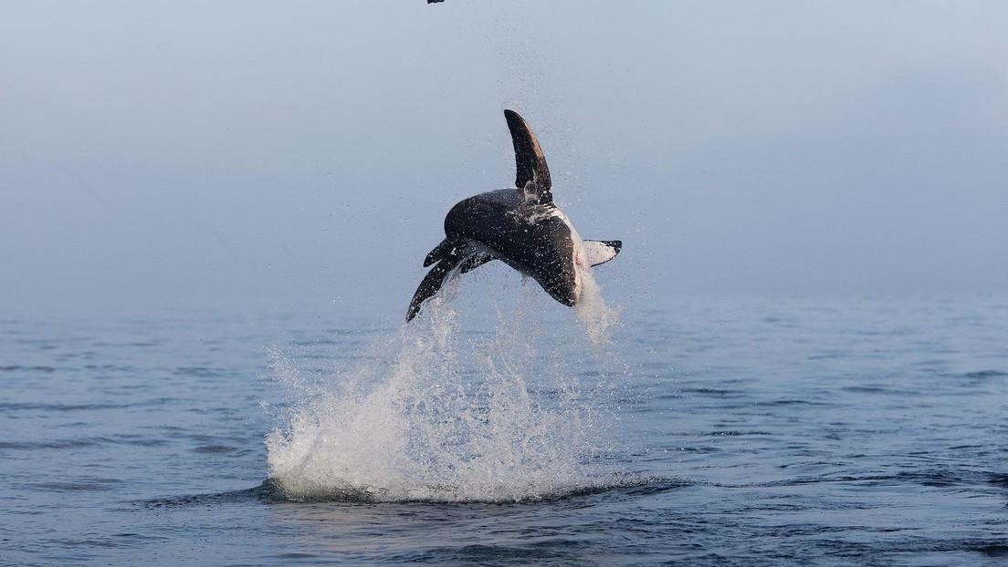 FOTO: Un tiburón blanco 'vuela' sobre el agua en un espectacular salto de más de cuatro metros