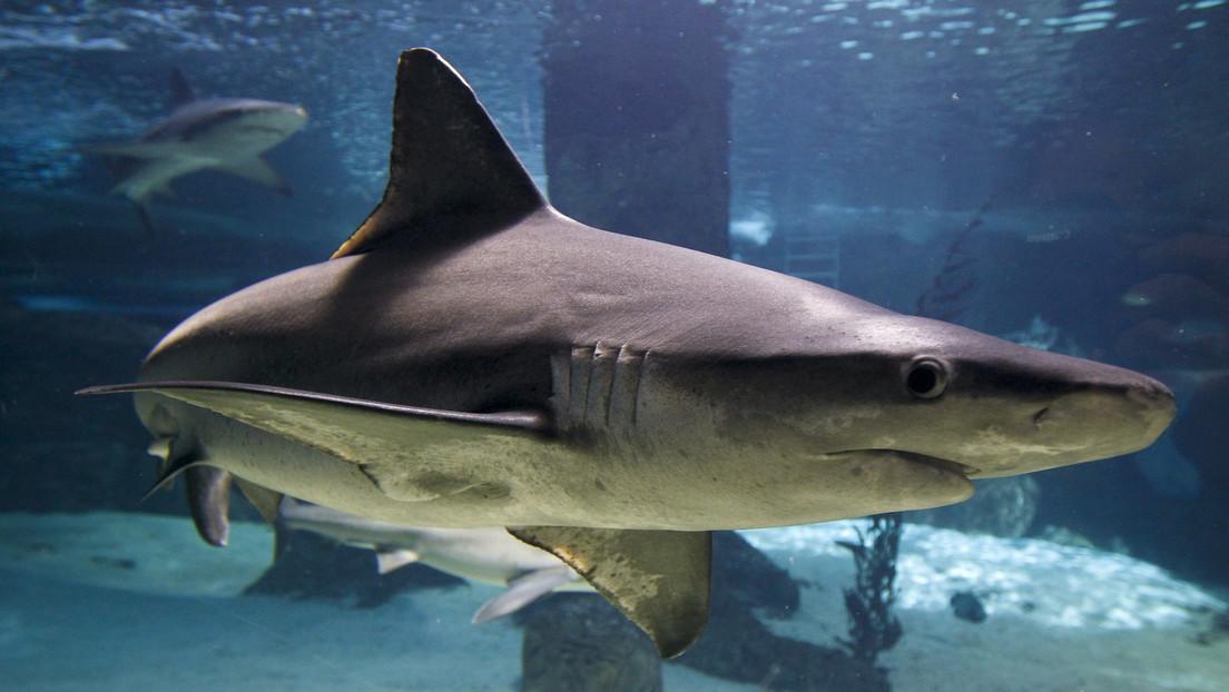 VIDEO: Un tiburón de mas de dos metros y medio sorprende a una mujer mientras nada en costas de las Bahamas