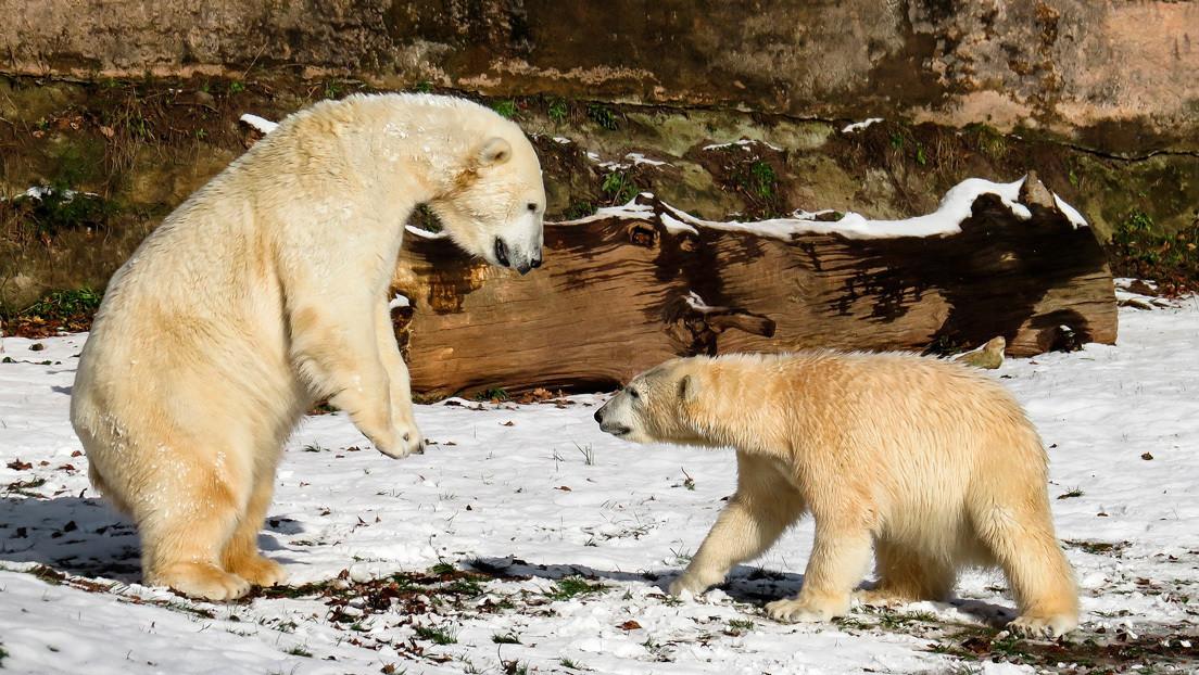 VIDEO: Dos osos polares se enfrentan por un 'botín' que la marea llevó a la orilla de un parque nacional ruso