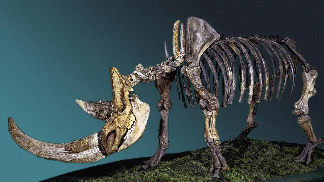 Establecen que lo que causó la extinción del rinoceronte lanudo no fue el exceso de caza