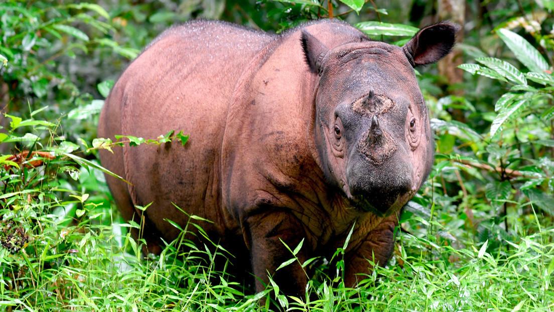 Planean revivir una especie de rinoceronte extinta en Malasia con ayuda de técnicas de clonación