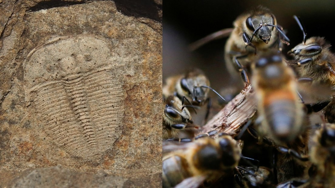 Descubren que una criatura marina de hace más de 400 millones de años tenía los ojos como las abejas modernas