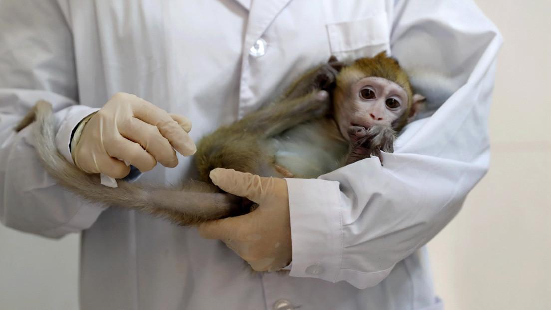 Científicos desconectan por primera vez y temporalmente dos áreas del cerebro en primates