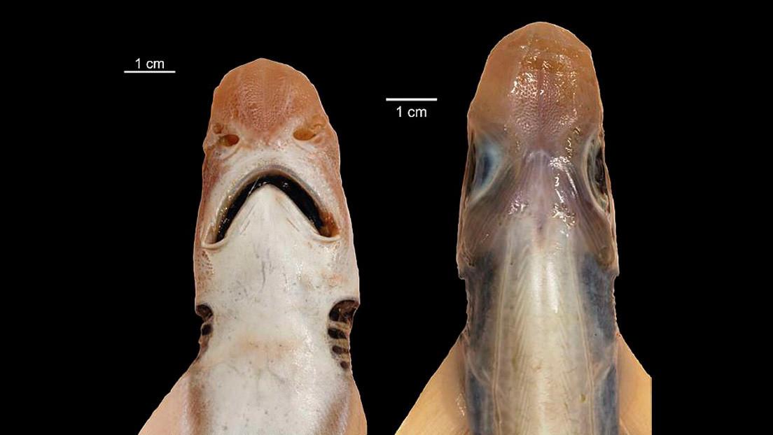 Capturan en el mar Mediterráneo un raro tiburón sin piel ni dientes