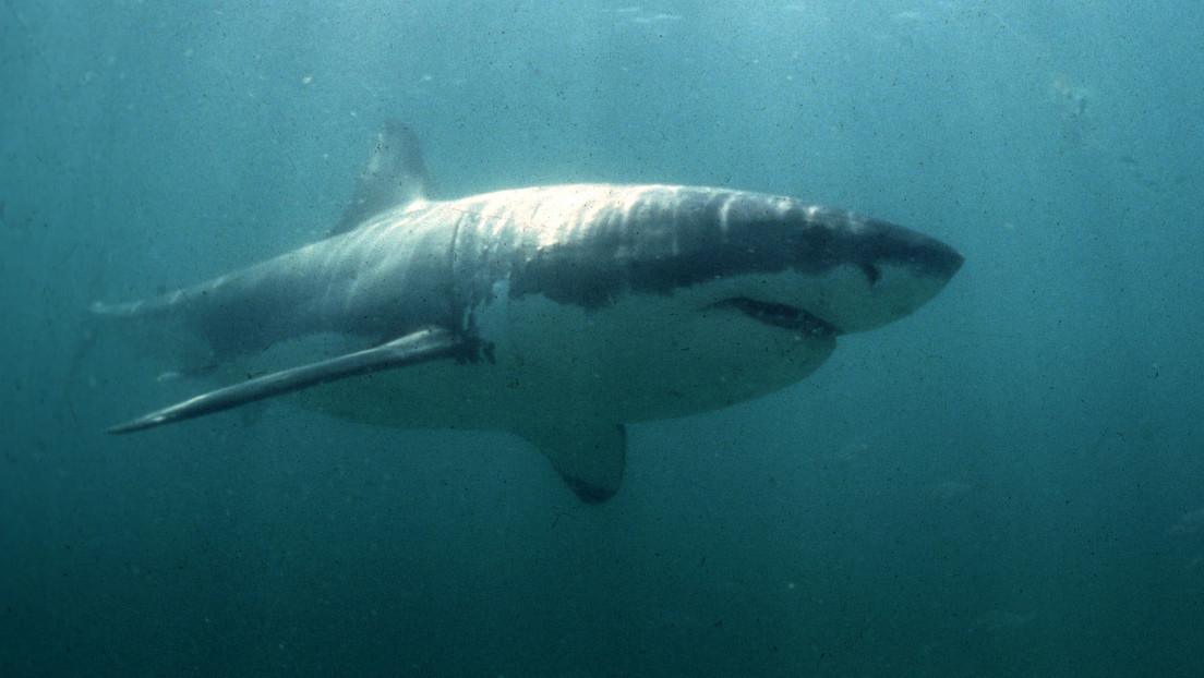 Dos submarinistas se encuentran cara a cara con un gran tiburón blanco y lo filman