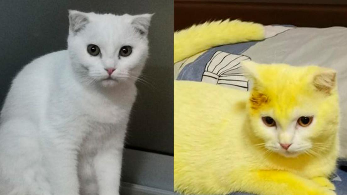 Trata a su gato con cúrcuma para aliviar una infección y el resultado es inesperado (FOTOS)
