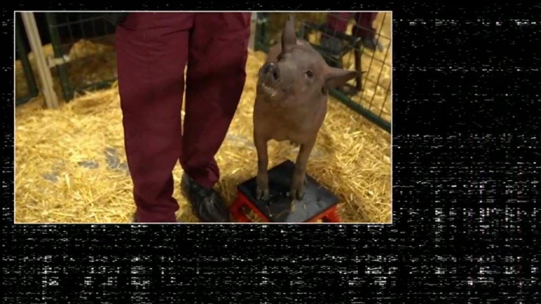 VIDEO: Elon Musk luce el primer cerdo 'cyberpunk' que porta el dispositivo Neuralink instalado en el cerebro