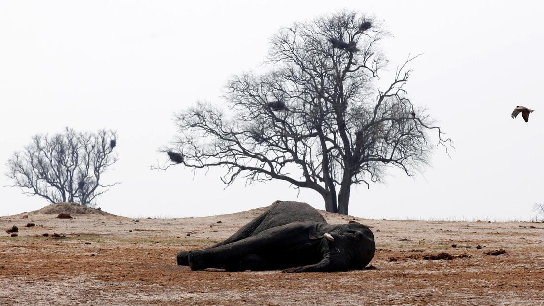 Encuentran once elefantes muertos presuntamente por ántrax en una reserva de Zimbabue